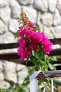 Bougainvillea hardy vine plant with pink bracts around small white flowers on traditional stone wall background Royalty Free Stock Photo