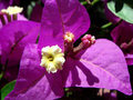 Bougainvillea kwiat Obraz Royalty Free