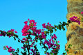 Bougainvillea marsa alam Royalty Free Stock Photo