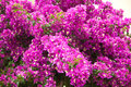 Bougainvillea menchie Obrazy Royalty Free