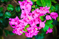 Bougainvillea On Nature Backgr...