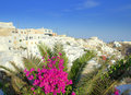 Bougainvillea palm and firostefani village santorini picture taken at imerovigli greece one heavenly place this is а typical Royalty Free Stock Photo