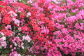 Bougainvillea or paper flower beautiful Stock Images