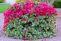 Bougainvillea raspberry ice plant with blooms Stock Photos