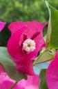 Bougainvillea sp flower close up macro fucsia Royalty Free Stock Image