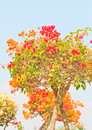 Bougainvillea spectabilis willd or paper flower in flowerpot Stock Photography