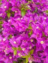Bougainvillea vertical photo of a field of Royalty Free Stock Image
