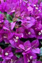 Bougainvilleabloemen in purple Royalty-vrije Stock Afbeelding