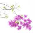 Bougainvilleas s treetop isolate against white background Royalty Free Stock Photography