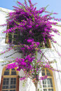 Bouganvillea tall flowering bougainvillea against the whitewashed wall of a house Royalty Free Stock Images