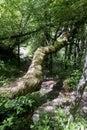 Bough wood