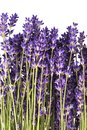 Bouguet of violet lavendula flowers on white background, close up Royalty Free Stock Photo