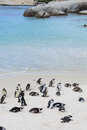 Boulders beach penguin colonies in cape town south africa Stock Photos