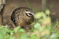 Boulton's hill partridge Royalty Free Stock Photography