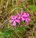 Bouncing Bet – Saponaria officinalis Royalty Free Stock Photo