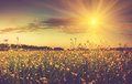 The boundless field and blooming colorful yellow flowers in the sun rays. Royalty Free Stock Photo