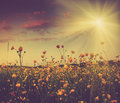 The boundless field and blooming colorful yellow flowers in the sun rays filtered image cross processed vintage effect Stock Photography