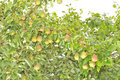 Bountiful Harvest of Pears Growing on Pear Tree Stock Image