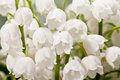 Bouqet of springtime flowers  Convallaria close up Royalty Free Stock Photo