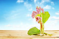 Bouquet of Bergenia flowers on wooden table against blue sky Royalty Free Stock Photo