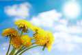 Bouquet of blossoming dandelions Royalty Free Stock Photo