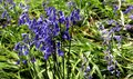 Bouquet of blubells Royalty Free Stock Photo