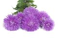 Bouquet of blue flowers asters on white background Stock Photo