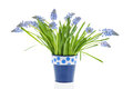 Bouquet blue grape Hyacinths Royalty Free Stock Photo