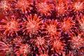 Bromeliads, Tillandsia Stricta Royalty Free Stock Photo