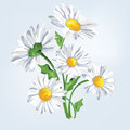 Bouquet camomile. Greeting card with flowers Royalty Free Stock Photo