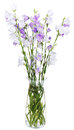 Bouquet of campanula bellflower in glass vase isolated on white background Royalty Free Stock Image