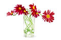 Bouquet crimson flowers pyrethrum tall glass water light shade white background Stock Photo