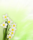 Bouquet Of Daffodils Over Gree...