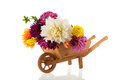 Bouquet dahlias in wheel barrow over white background Stock Image