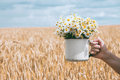 Bouquet of daisies in his hand. Golden wheat field. Royalty Free Stock Photo