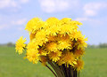 Bouquet of dandelions on background field and sky Royalty Free Stock Photography