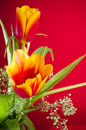 Bouquet des tulipes jaune rouges sur un fond rouge Images stock