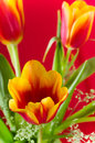 Bouquet des tulipes jaune rouges sur un fond rouge Image stock
