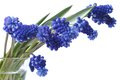 Bouquet flowers of blue muscari in a glass vase isolated beautiful on white background Stock Photography