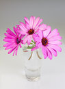 Bouquet flowers osteospermum vase gray background Stock Images