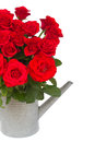 Bouquet of fresh red roses in watering can scarlet isolated on white background Royalty Free Stock Image