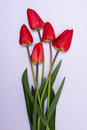 Bouquet of fresh red tulip Royalty Free Stock Photo