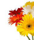 Bouquet of gerbera flowers colorful isolated on white background Stock Image