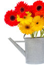 Bouquet of gerbera flowers in watering can isolated on white background Royalty Free Stock Photos