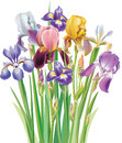 Bouquet of iris flower different colors Stock Photo