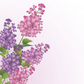 Bouquet of lilac blossoms Royalty Free Stock Image