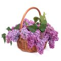 A bouquet of lilac in a wicker basket on white Royalty Free Stock Photo