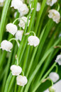 Bouquet of lilies of the valley closeup Royalty Free Stock Images