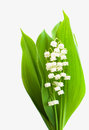 Bouquet lilies of the valley on a white background Royalty Free Stock Image