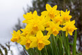 Bouquet of narcissus Royalty Free Stock Photo